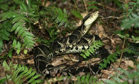 Cobra brasileira tem no veneno molécula capaz de inibir o coronavírus, diz pesquisa